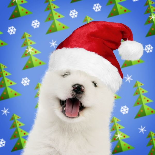DOG - Samoyed puppy 5 weeks old wearing Christmas hat - mouth open Digital Manipulation Date