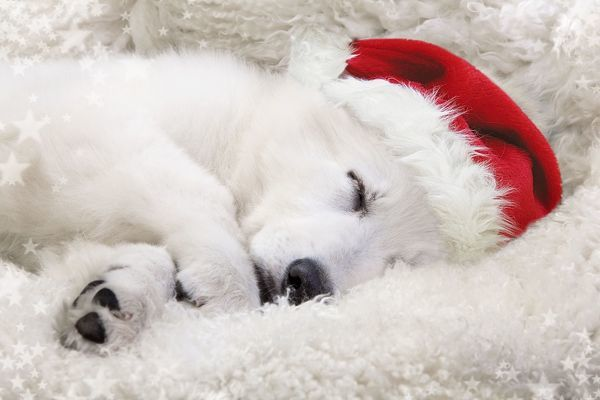 LA-9736-m Dog - Swiss White Shepherd Dog  sleeping wearing Christmas hat Jean-Michel Labat Please note that prints are for personal display purposes only and may not be reproduced in anyway