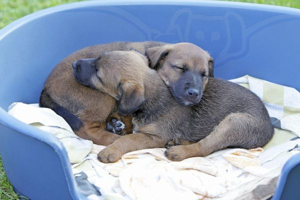USH-4399 Dog - Westfalia / Westfalen Terrier - 2 puppies sleeping in dog basket Lower Saxony, Germany Duncan Usher Please note that prints are for personal display purposes only and may not be reproduced in anyway