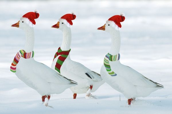 ME-1077-M1 Domectic Geese in snow - dressed in Christmas hats & scarves Digitally manipulated image Johan De Meester