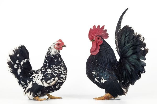 LA-1063 Domestic Chickens - pair of Nagasaki breed Jean Michel Labat Please note that prints are for personal display purposes only and may not be reproduced in any way