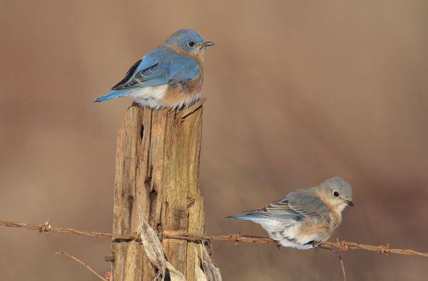 JZ-3725 Eastern Bluebird - male and female in winter. Connecticut in January. USA Sialia sialis Jim Zipp Please note that prints are for personal display purposes only and may not be reproduced in any way