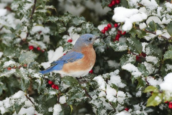 JZ-3717 Eastern Bluebird - male on snow dusted Holly leaves and berries in winter January in CT, USA Sialia sialis Jim Zipp Please note that prints are for personal display purposes only and may not be reproduced in any way