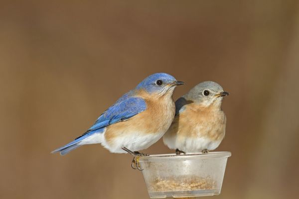JZ-3723 Eastern Bluebird - pair eating mealworms in winter at feeder January in Connecticut, USA Sialia sialis Jim Zipp Please note that prints are for personal display purposes only and may not be reproduced in any way