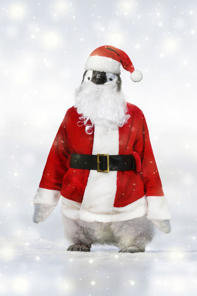 Emperor Penguin, dressed as Father Christmas in winter snow Date