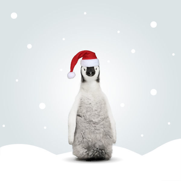 Emperor Penguin wearing Christmas hat in illustrated