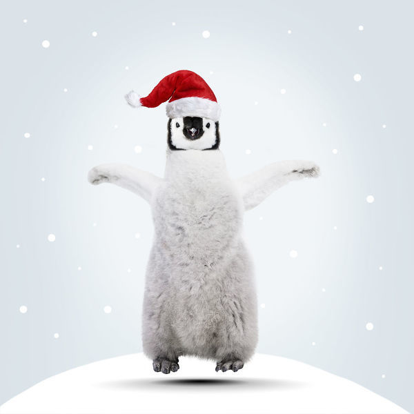 Emperor Penguin, young jumping for joy at Christmas