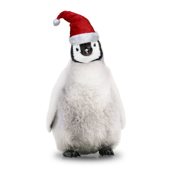 Emperor Penguin, Young wearing Christmas hat