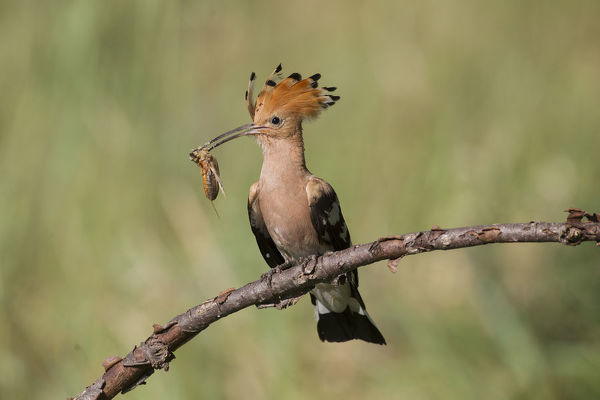 Eurasian Hoopoe - adult bird perched on a brench Date