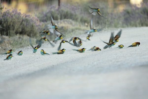 USH-4226 European Bee-Eater - flock taking a dust bath on a sandy track Alentejo, Portugal Merops apiaster Duncan Usher Please note that prints are for personal display purposes only and may not be reproduced in anyway