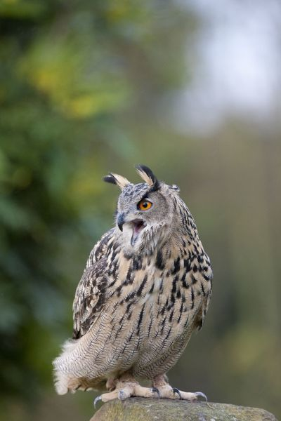 DK-202 European Eagle Owl - single adult calling from a stone post Bubo bubo David Kilbey Please note that prints are for personal display purposes only and may not be reproduced in any way