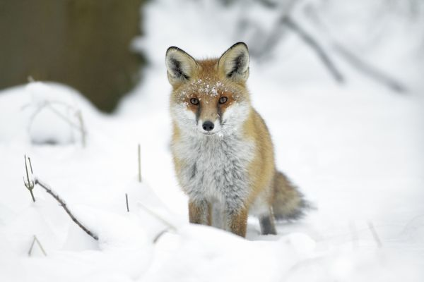 USH-4496 European Fox - on alert in snow covered forest Harz Mountains - Lower Saxony - Germany Vulpes vulpes Duncan Usher Please note that prints are for personal display purposes only and may not be reproduced in any way