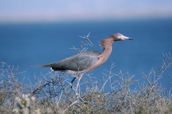 FG-5121 Reddish Egret Egretta rufescens Francois Gohier Please note that prints are for personal display purposes only and may not be reproduced in any way