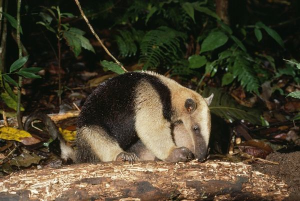 FG-992 Northern Tamandua / Giant Anteater / Tamandua Anteater Tamandua mexicana Francois Gohier Please note that prints are for personal display purposes only and may not be reproduced in any way