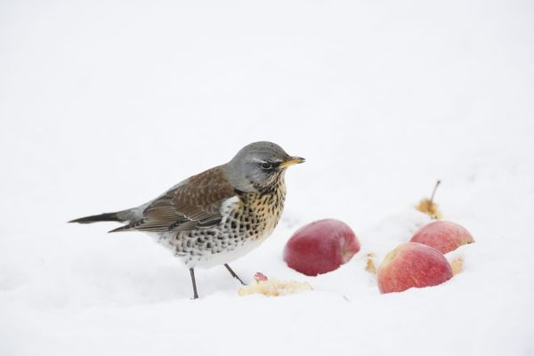 COS-2880 Fieldfare - feeding on apples in snow Essex, UK Turdus pilaris Bill Coster Please note that prints are for personal display purposes only and may not be reproduced in any way