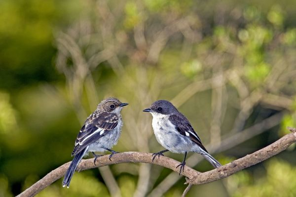 ASW-4802 Fiscal Flycatcher - female with immature on left - Endemic in South Africa, occurring in woodland, thickets, scrub and gardens