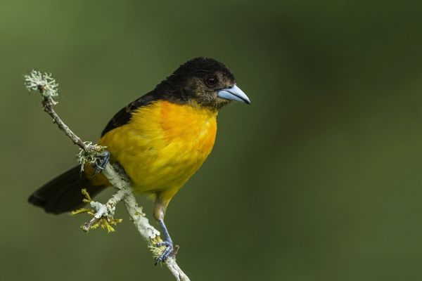 Flame-rumped Tanager, Las Tangaras Bird Reserve