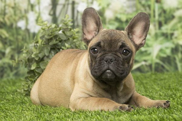 French Bulldog puppy dog outdoors