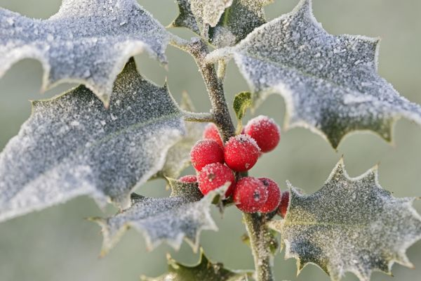 BB-1082 Frost on Holly Ilex aquifolium Brian Bevan Please note that prints are for personal display purposes only and may not be reproduced in any way. contact details: prints@ardea.com tel: 020 8318 1401