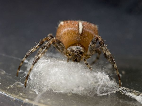 DOW-181 Garden Cross Spider - female preparing support for egg sac UK Araneus diadematus Steve Downer Please note that prints are for personal display purposes only and may not be reproduced in any way