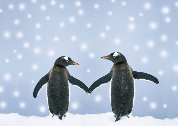 JPF-8776-m1 Gentoo Penguin - pair 'holding hands' in the snow Pygoscelis papua Digitally manipulated image Jean-Paul Ferrero Please note that prints are for personal display purposes only and may not be reproduced in any way