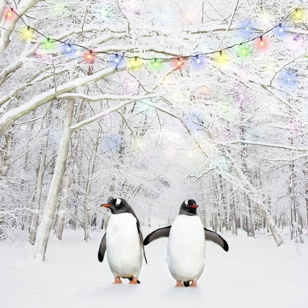 Gentoo Penguins in winter woodland with snow and Christmas lights Digital Manipulation: Penguins (COS) - cleaned penguins - added lights - frost to trees Date