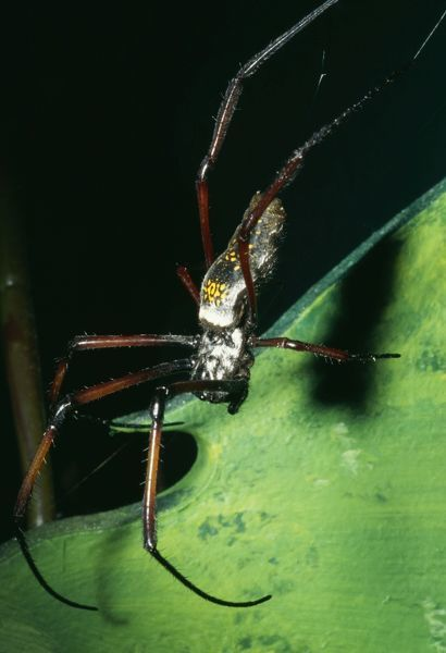KEL-258 Giant Madagascar Orb Spider  Cities & Forests of Madagascar. Nephila madagascariensis Ken Lucas Please note that prints are for personal display purposes only and may not be reproduced in any way