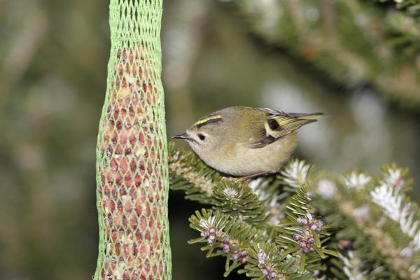 USH-4113 Goldcrest - picking food from titmice feeder in winter Lower Saxony, Germany Regulus regulus Duncan Usher Please note that prints are for personal display purposes only and may not be reproduced in anyway