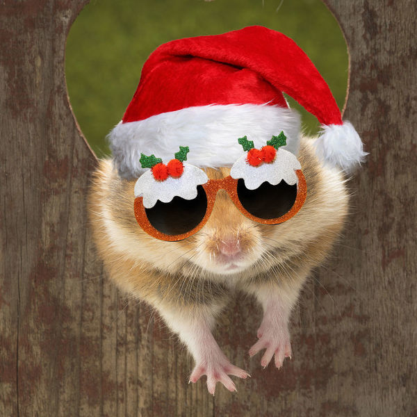 Golden Hamster looking through a hole wearing Christmas hat and Christmas pudding glasses. Digital manipulation Date