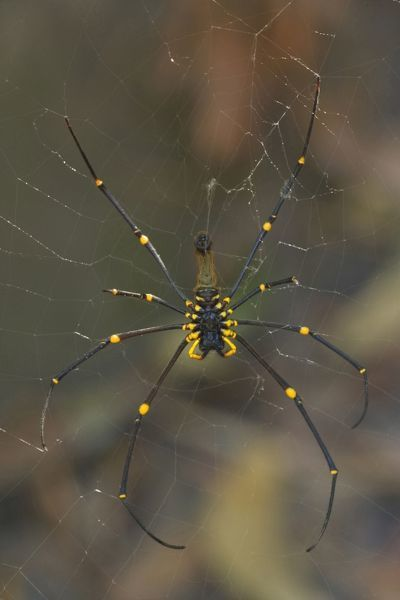 SAS-1252 Golden Orb-weaver - big and colourful spider on its web waiting for prey Northern Territory, Australia Nephila edulis Steffen & Alexandra Sailer Please note that prints are for personal display purposes only and may not be reproduced
