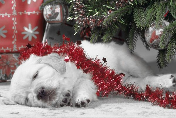 JD-12451-m Golden Retriever Dog - puppy asleep under Chirstmas tree. Black & White with red tinsel Black & White with red tinsel John Daniels Please note that prints are for personal display purposes only and may not be reproduced in any way