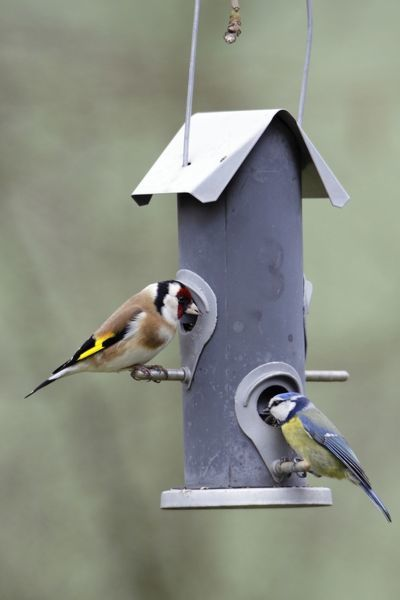 USH-4116 Goldfinch and Blue Tit - (Parus caeruleus), feeding on seed station Lower Saxony, Germany Carduelis carduelis Duncan Usher Please note that prints are for personal display purposes only and may not be reproduced in anyway