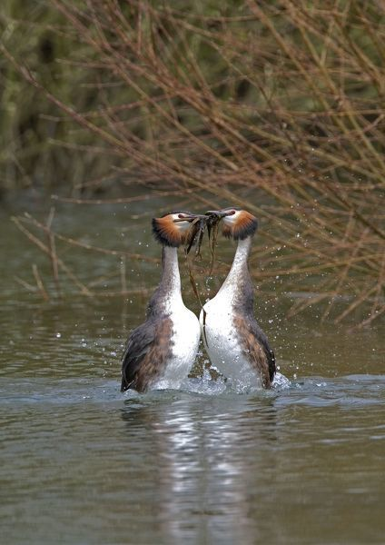 CK-4638 Great Crested Grebe - male and Female display weed dance with weeds March. Norfolk, U.K. Podiceps cristatus Chris Knights Please note that prints are for personal display purposes only and may not be reproduced in any way
