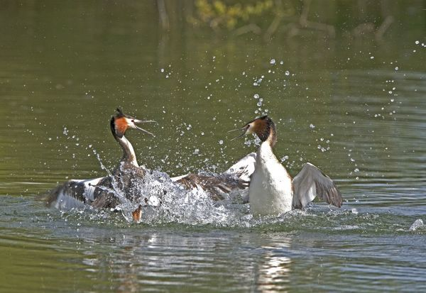 CK-4637 Great Crested Grebe - two male's fighting in the water using their wings and bills March. Norfolk, U.K. Podiceps cristatus Chris Knights Please note that prints are for personal display purposes only and may not be reproduced in any way