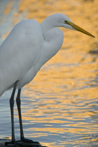 ROG-13870 Great Egret / Great White Egret / Common Egret / Great White Heron - fishing on lake shore at sunset California, United States Ardea alba Bob Gibbons Please note that prints are for personal display purposes only and may not be reproduced