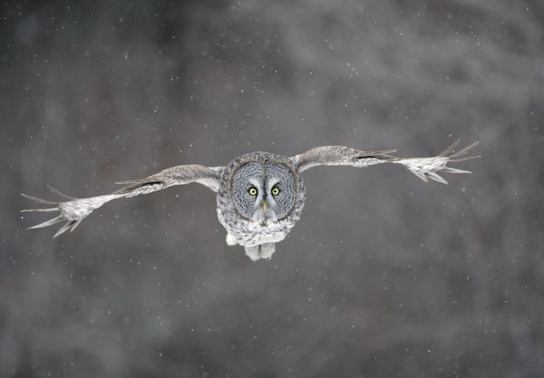 JZ-1882 Great Grey Owl - flight Northern Minnesota during one of the largest invasions on record in the winter of 2004/2005
