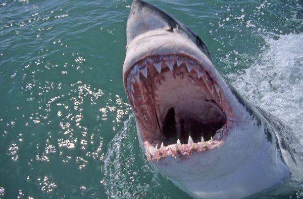 Great White Shark with head out of water and mouth open