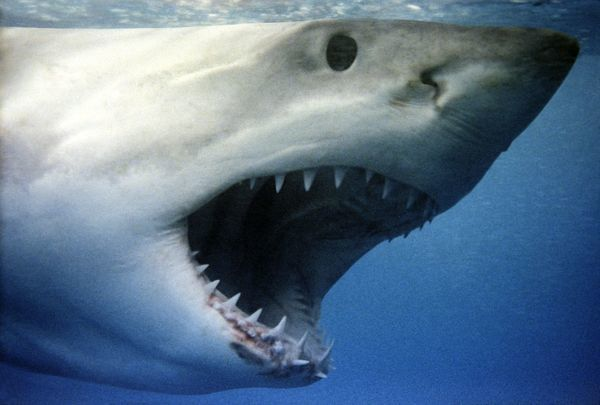 Great White Shark With Mouth Wide Open Vt 260 M Great