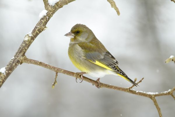 USH-4506 Greenfinch - perched on branch in winter Lower Saxony - Germany Carduelis chloris Duncan Usher Please note that prints are for personal display purposes only and may not be reproduced in any way