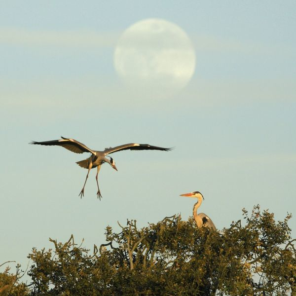 USH-4136 Grey Heron - bird landing at nest, with full moon raising, late evening Alentejo region, Portugal Ardea cinerea Duncan Usher Please note that prints are for personal display purposes only and may not be reproduced in anyway