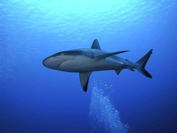 VT-8235 Grey Reef shark - Once common through out the Indo Pacific tropical waters these reef dwelling sharks are being hunted for their fins