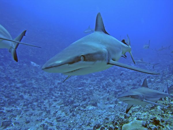 VT-8667 Grey Reef SHARKS - There are thousands of these sharks living in the passes into the lagoons