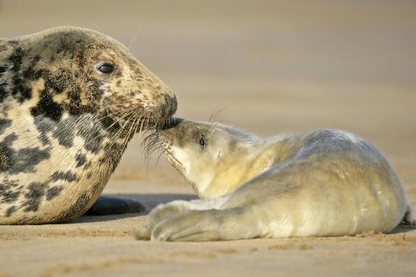 SAS-125 Grey Seal - mother and newborn pup taking stock of each other Donna Nook, Lincolnshire Coast, England, UK Halichoerus grypus Steffen & Alexandra Sailer Please note that prints are for personal display purposes only and may not be reproduced