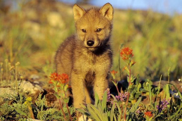 TOM-1279 Grey Wolf - pup among wildflowers Montana, North America Canis lupus Tom & Pat Leeson Please note that prints are for personal display purposes only and may not be reproduced in any way