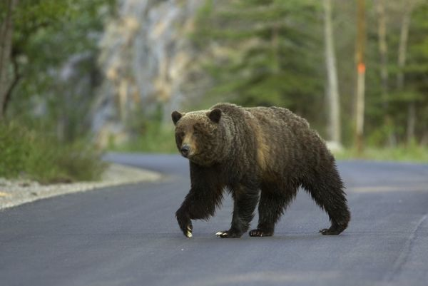COS-2928 Grizzly Bear - crossing road Canadian Rocky Mountains - Alberta - Canada Ursus arctos horribilis Bill Coster Please note that prints are for personal display purposes only and may not be reproduced in any way