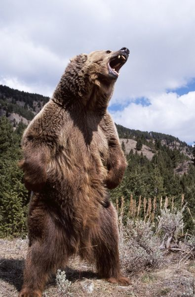 grizzly bear standing and roaring wat4216 grizzly