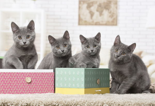 Group of four Chartreux kittens indoors Date