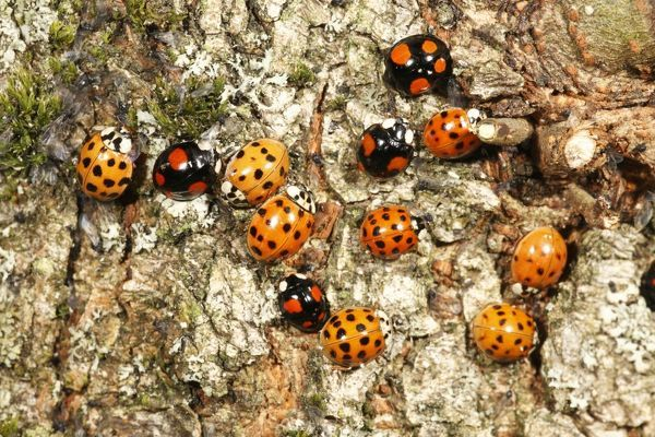 USH-4356 Harlequin Ladybirds - gathering in autumn on tree stem, before hibernation Hessen, Germany Harmonia axyridis Duncan Usher Please note that prints are for personal display purposes only and may not be reproduced in anyway