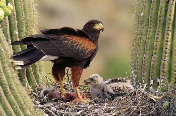 CAN-595 HARRIS' HAWK - on nest in saguaro cactus, with chicks Sonoran Desert, Arizona, USA Parabuteo unicinctus John Cancalosi Please note that prints are for personal display purposes only and may not be reproduced in any way