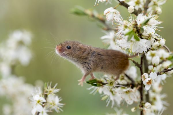 Harvest Mouse - on Blackthorn Blossom - Devon - UK Date
